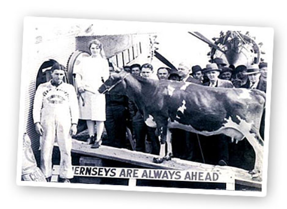 cow flies in a trimotor